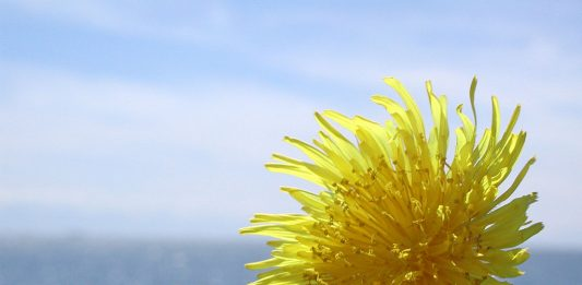 Dandelion Remedies