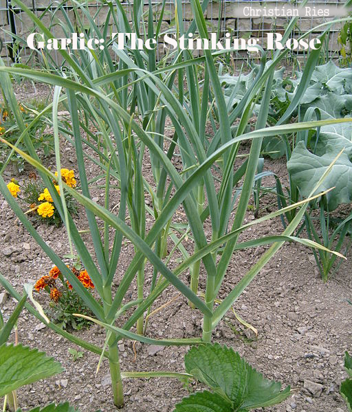 Garlic: The Stinking Rose
