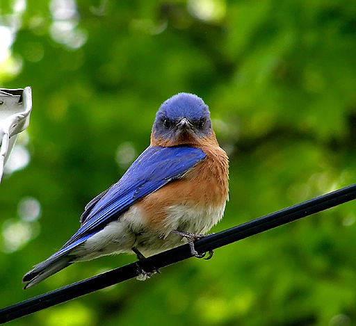 Attract And Keep Bluebirds In Your Yard