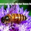 A Quick Look at the Worker Honey Bee