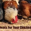 Treats for Your Chickens