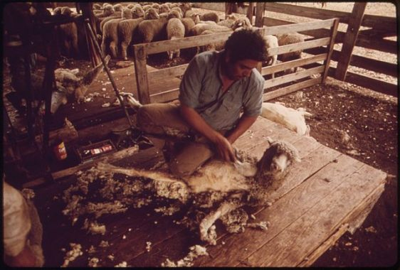 640px-sheep_being_sheared_on_a_ranch_near_leakey_texas_and_san_antonio_-_nara_-_554893st-gil-marc