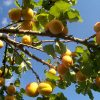 How to Grow Apricot Trees