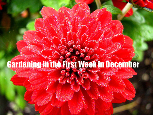 Gardening in The First Week of December