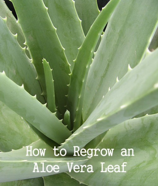How to Preserve and Regrow an Aloe Vera LeafHow to Preserve and Regrow an Aloe Vera Leaf