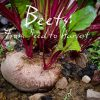 Beets: From Seed to Harvest