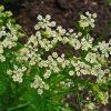 Herb Garden Plants – Caraway