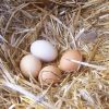 Are Fresh Eggs from Pastured Poultry Healthier?