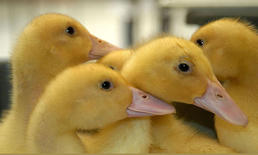 Raising Baby Ducks Into Healthy Adult Ducks - All You Need to Know