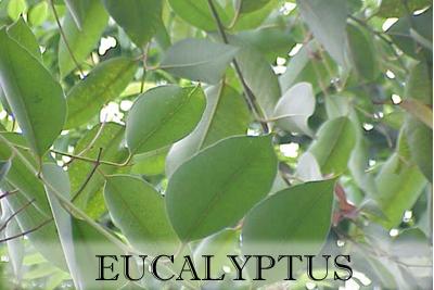 Eucalyptus_Kurt Stüber-1