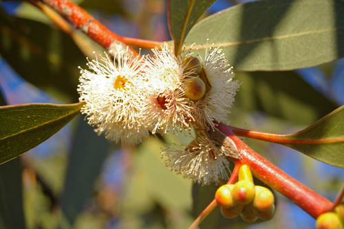 Peppermint Eucalyptus Great For Throat And Lung Infections