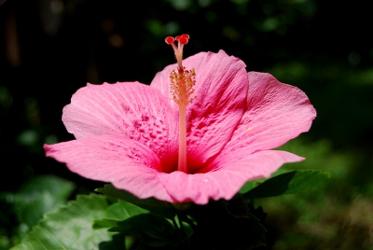 Hibiscus-renjith-krishnan-morguefile_com