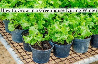 How to grow in a greenhouse during winter for Indoor gardening during winter