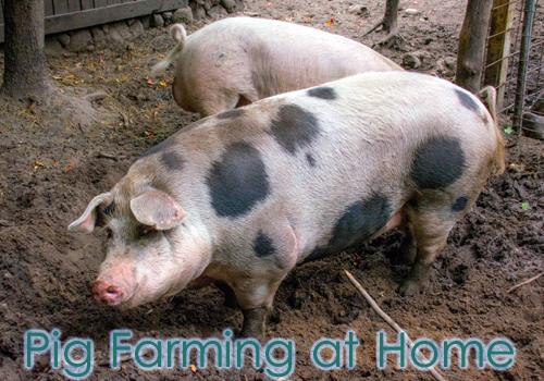 Pig Farming at Home
