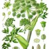 Impacting Health – The Angelica Herb