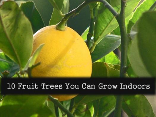 Indoor Fruit Trees - Ten Fruit Trees You Can Grow Indoors