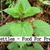 Nettles – Food for Free