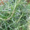 How to Take Cuttings of Rosemary