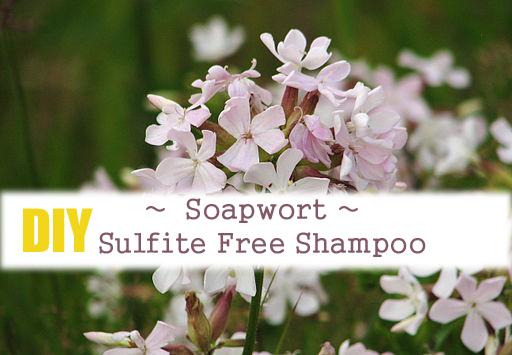 Sulfite Free Shampoo ~ Soapwort