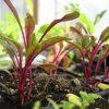 How to Grow Swiss Chard Indoors