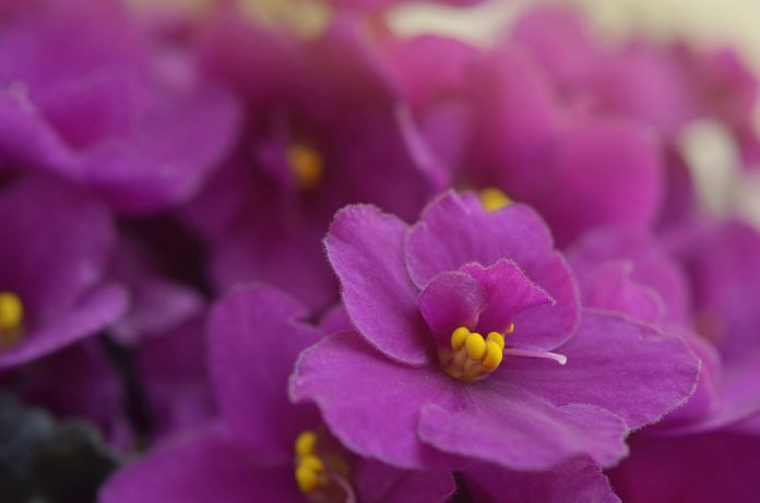 Growing African Violets and Other Plants Indoors