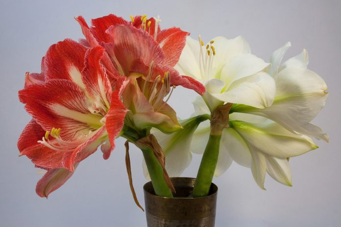 Amaryllis Bulbs -The Secret to Getting Them to Re-bloom