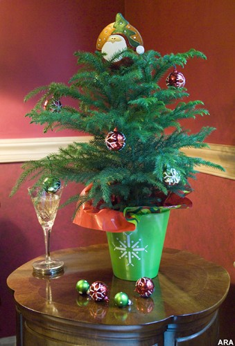 A Holiday Tale: The Story Behind The Norfolk Island Pine