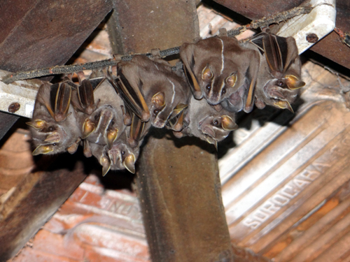 Bat Removal and Bat Control