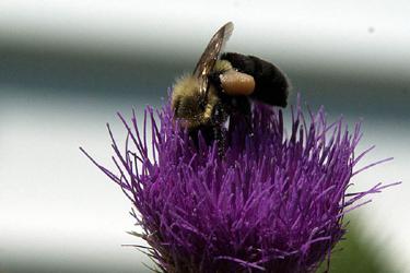 bee--earl53--morguefile_com