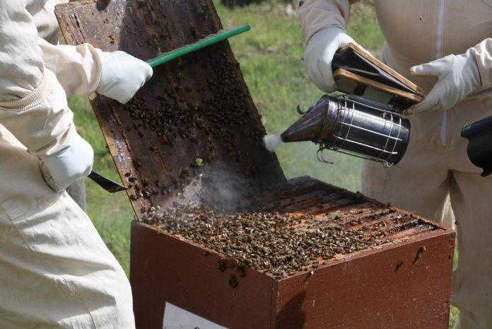 The Beekeeping Smoker in Action