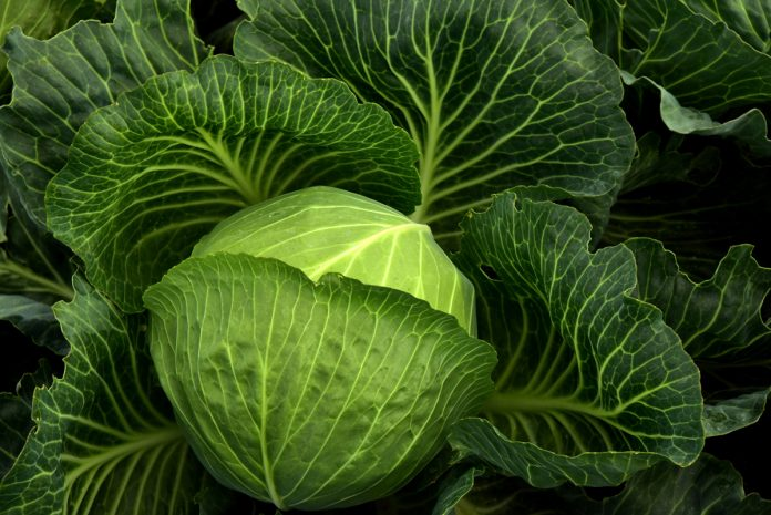 Growing Cabbage from Seed
