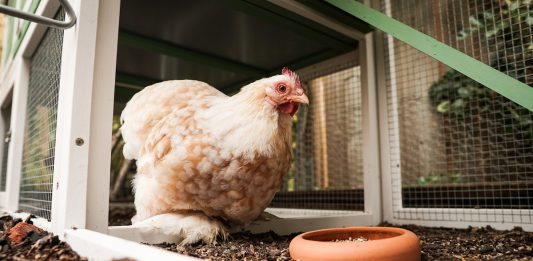 How Weather Affects Your Chicken Runs and Coops