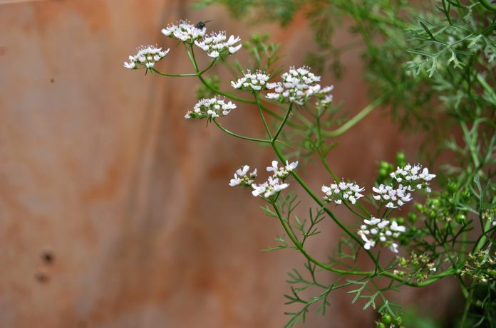 Does Your Cilantro Grow Flowers Too Quickly? Here's Why