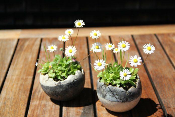 Daisies - Flowers That Heal
