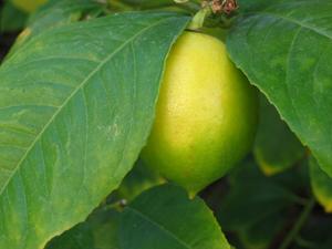 Zesty Lemon Honey Gommagé