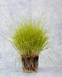 Make Your Own Wheatgrass and Living Bread