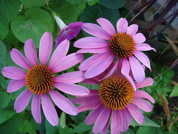 Divide Your Perennials Every 3 to 4 Years For More and Bigger Flowers