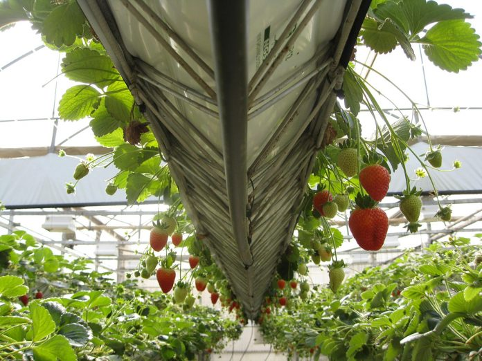 10 Top Tips for Growing Strawberries in Your Greenhouse