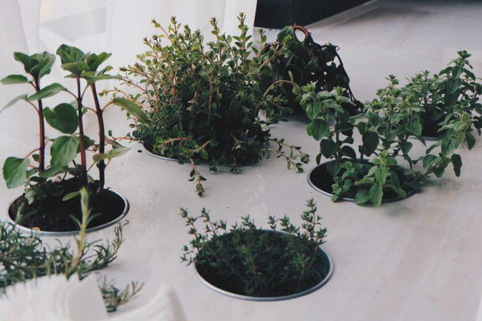 Windowsill Herb Garden - Six Herbs for Health