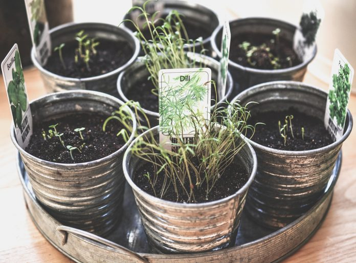 6 Culinary and Medicinal Herbs for Small Containers