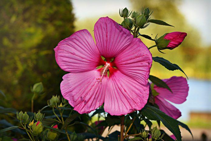 Hollyhock - Alcea rosea