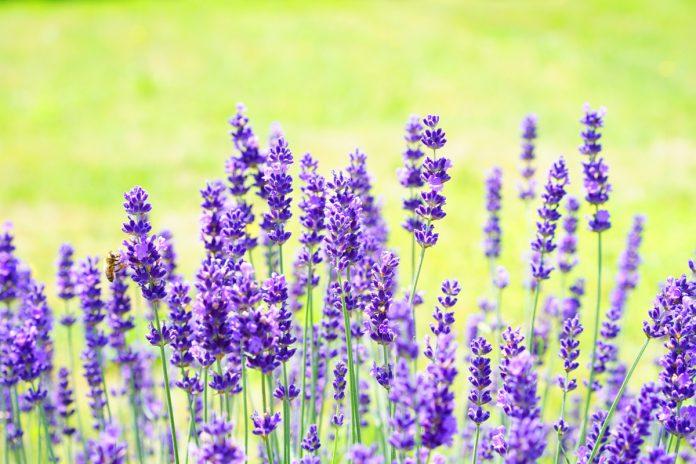 Healing Power of Lavender