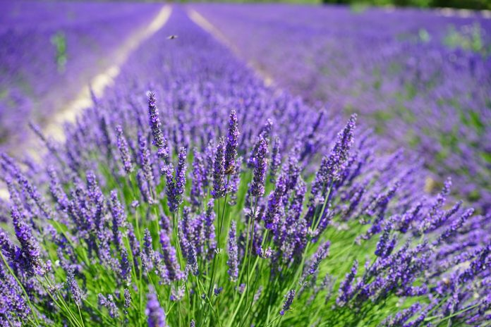 Planting Lavender is an Easy Spring Garden Project