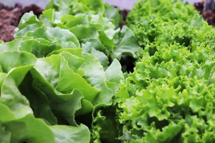 Tips on Growing Lettuce