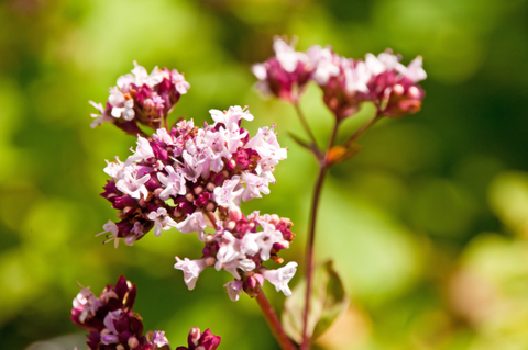 Happiness Through Herbs: The Marjoram Plant