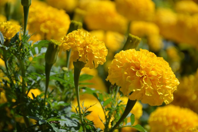 Plant Marigolds for Flowers All Summer Long