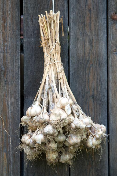 Plant Garlic in Autumn for an Abundant Summer Crop