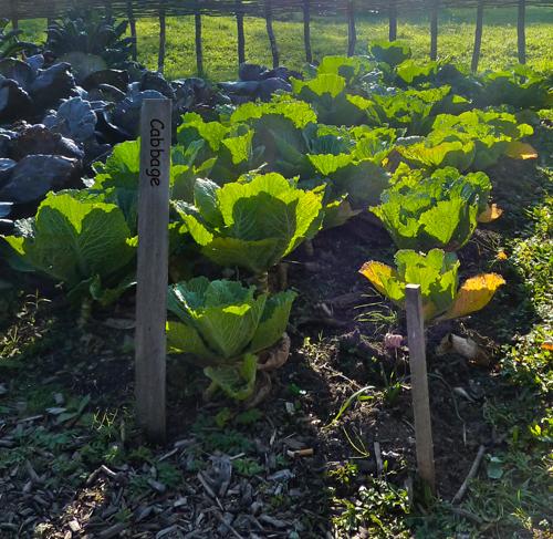 Growing Organic Cabbage
