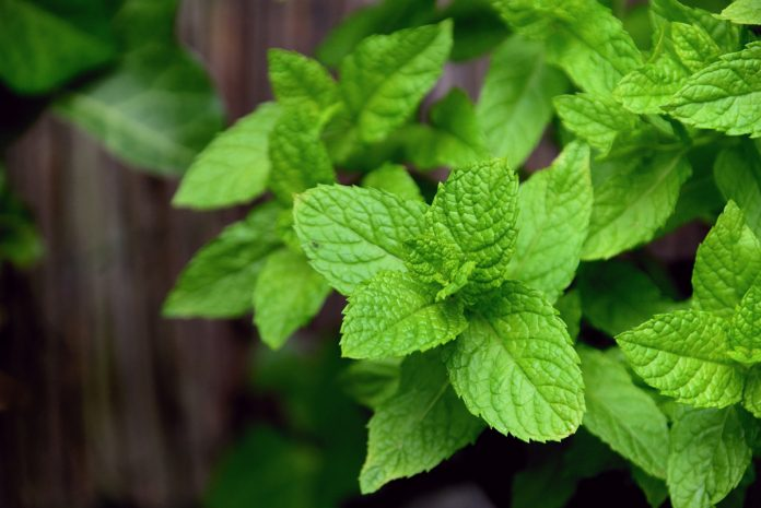 27 Uses for Mint: The Best Growing Herb in Your Garden