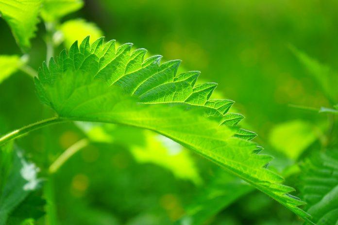 Edible Weeds